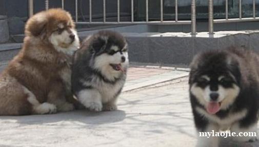 昆明盘龙区附近有没有狗场本地狗场阿拉斯加幼犬常年出售